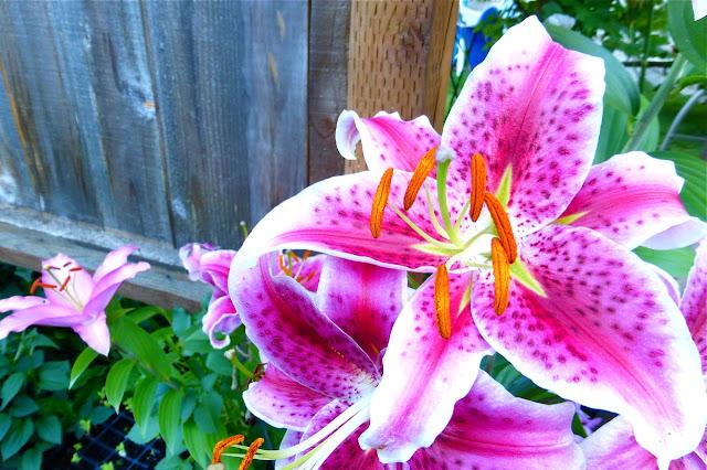 lily, summer garden, perrenial