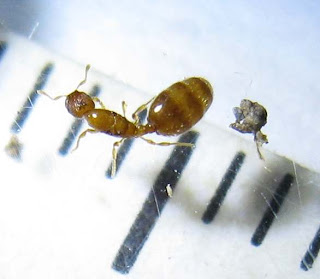 The queen of Oligomyrmex