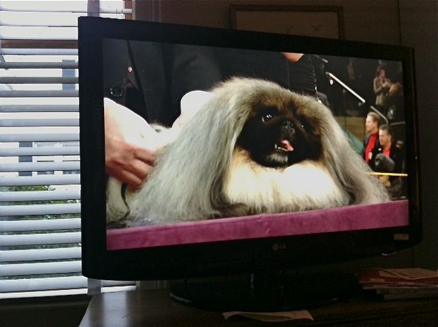 Malachy-the Pekingese-Best-in-Show