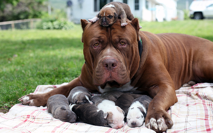 Lisas World Bow Wow Worlds Largest Pit Bull The Hulk Fathers