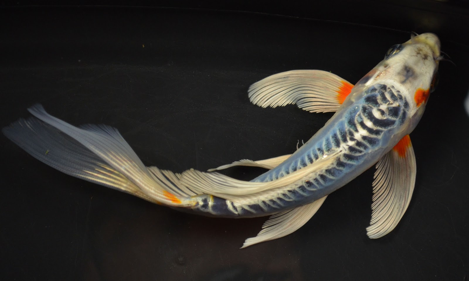 Koi to the world butterfly koi pictures for Koi carp fish information