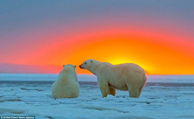 imágenes osos polares puesta del sol