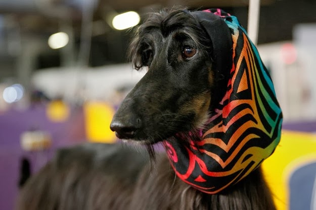 Westminster dog show 6