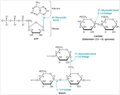 n glycosidic bond  and o glycosidic bonds atp