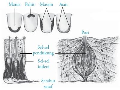 Struktur kuncup rasa pada lidah