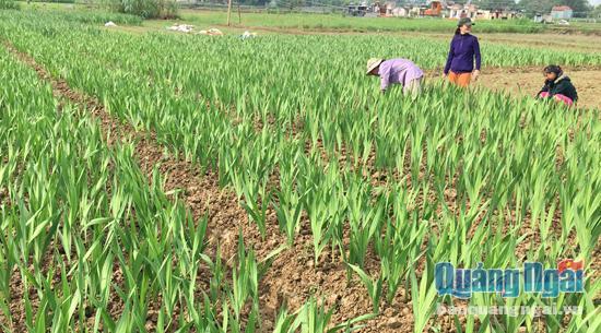 TP Quảng Ngãi Thời tiết thất thường, người trồng lay ơn lo lắng