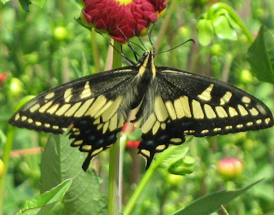 swallowtail on dahlia