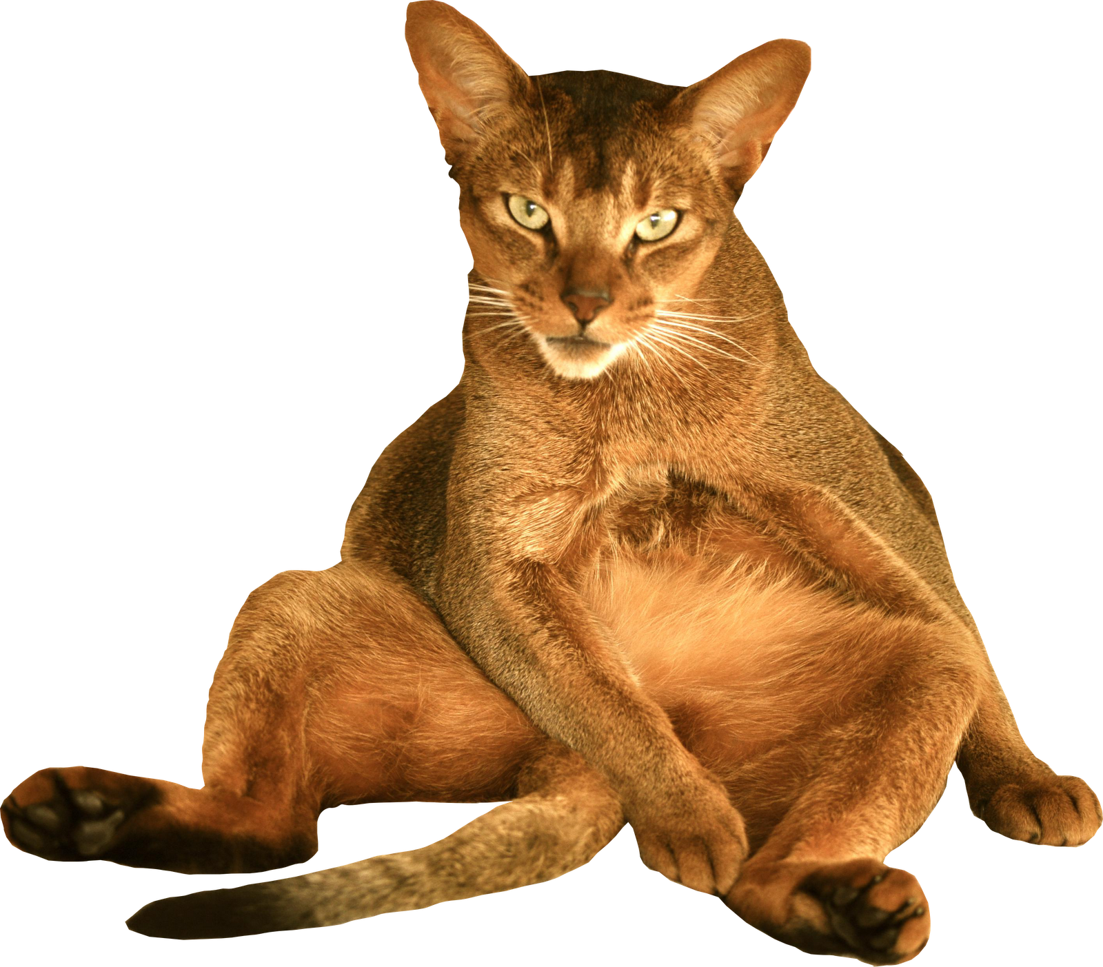 Transparent Background Cats Free Cat Png With Transparent