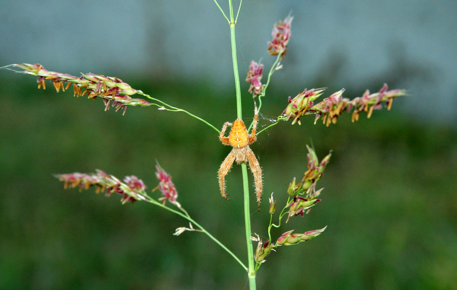 Awesome spider on colourful grass
