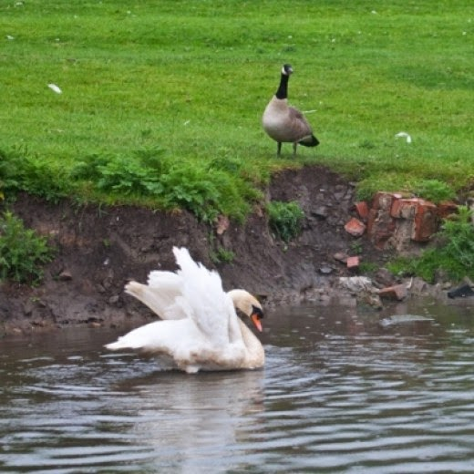 mute swan and canada geese