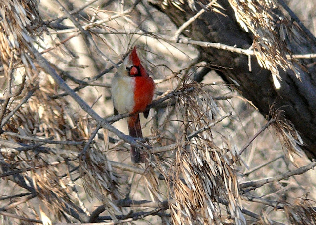 Half Male, Half Female Cardinal (Photos)
