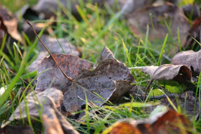 aspen leaf with gall of Poplar Petiole Gall Moth (Ectoedemia populella)