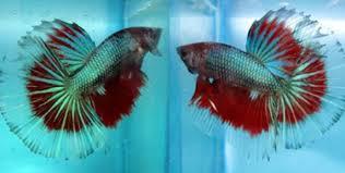 Keuntungan Besar Dari Budidaya Ikan Cupang