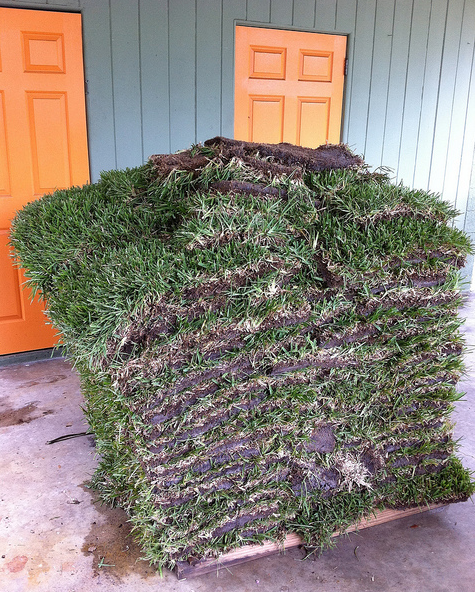 how to bring back dead st augustine grass