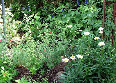 Annieinaustin,red & Blue salvias with shasta daisies