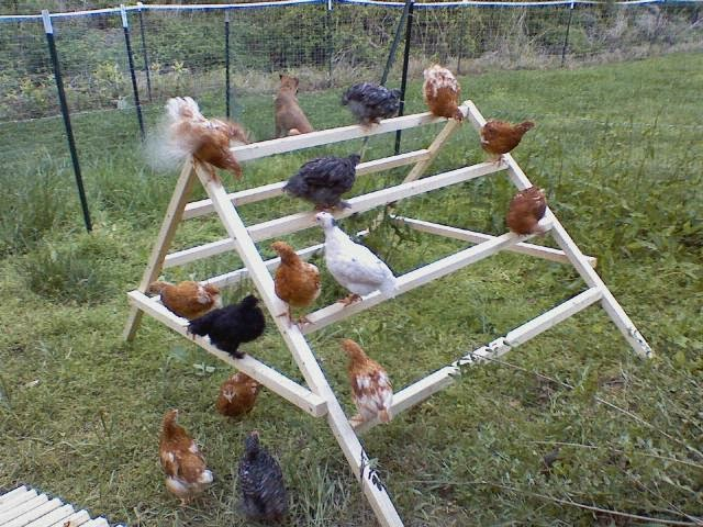 http://petdiys.com/diy-chicken-jungle-gym/
