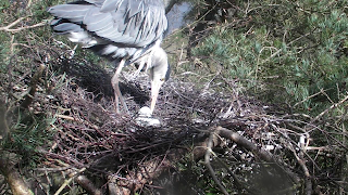 Heron turning her three eggs.