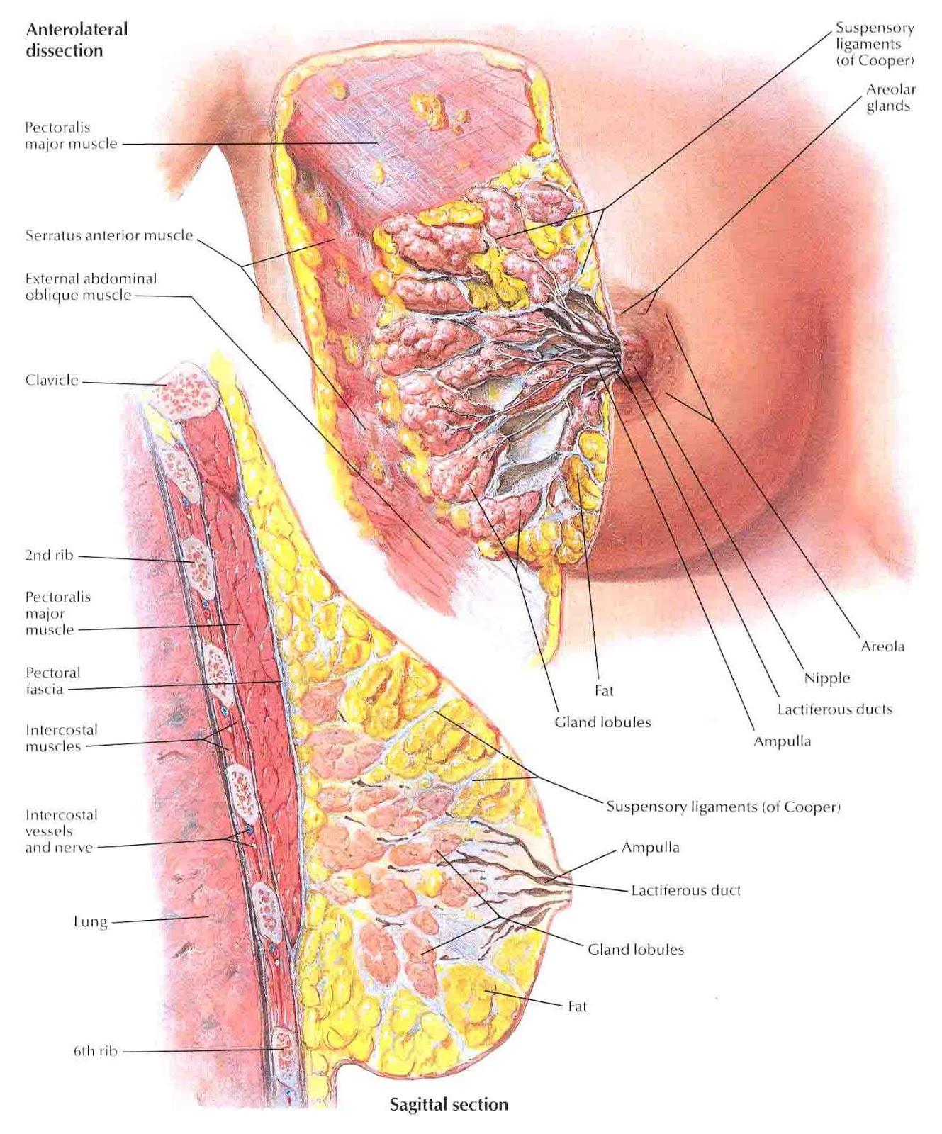 Строение женской груди 5 фотография