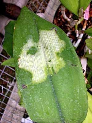 Trên lá hồ điệp xuất hiện những đóm trắng loang lỗ do lá tiếp xúc trực tiếp với ánh nắng mặt trời