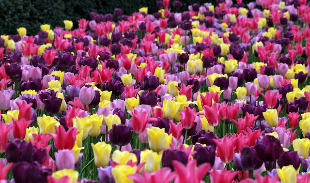 Tulips. French Garden, Conservatory Gardens, NYC (circa 2010)