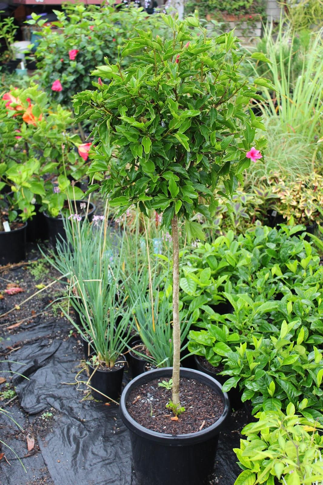 Florez Nursery Hibiscus Rosa Sinensis 39Tiny Tina39