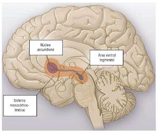 centros cerebrales activos nicotina