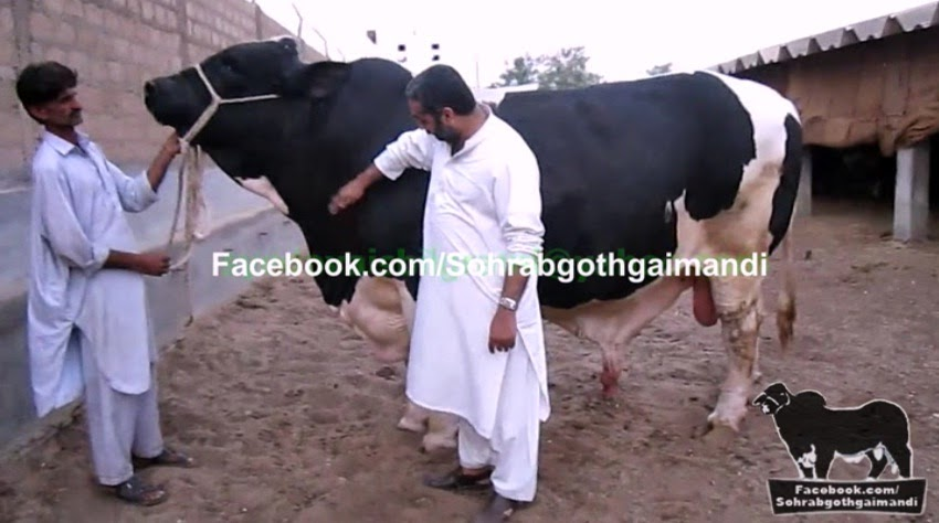 Dilpasand Cattle Farm Walaiti Bull pics and new videos