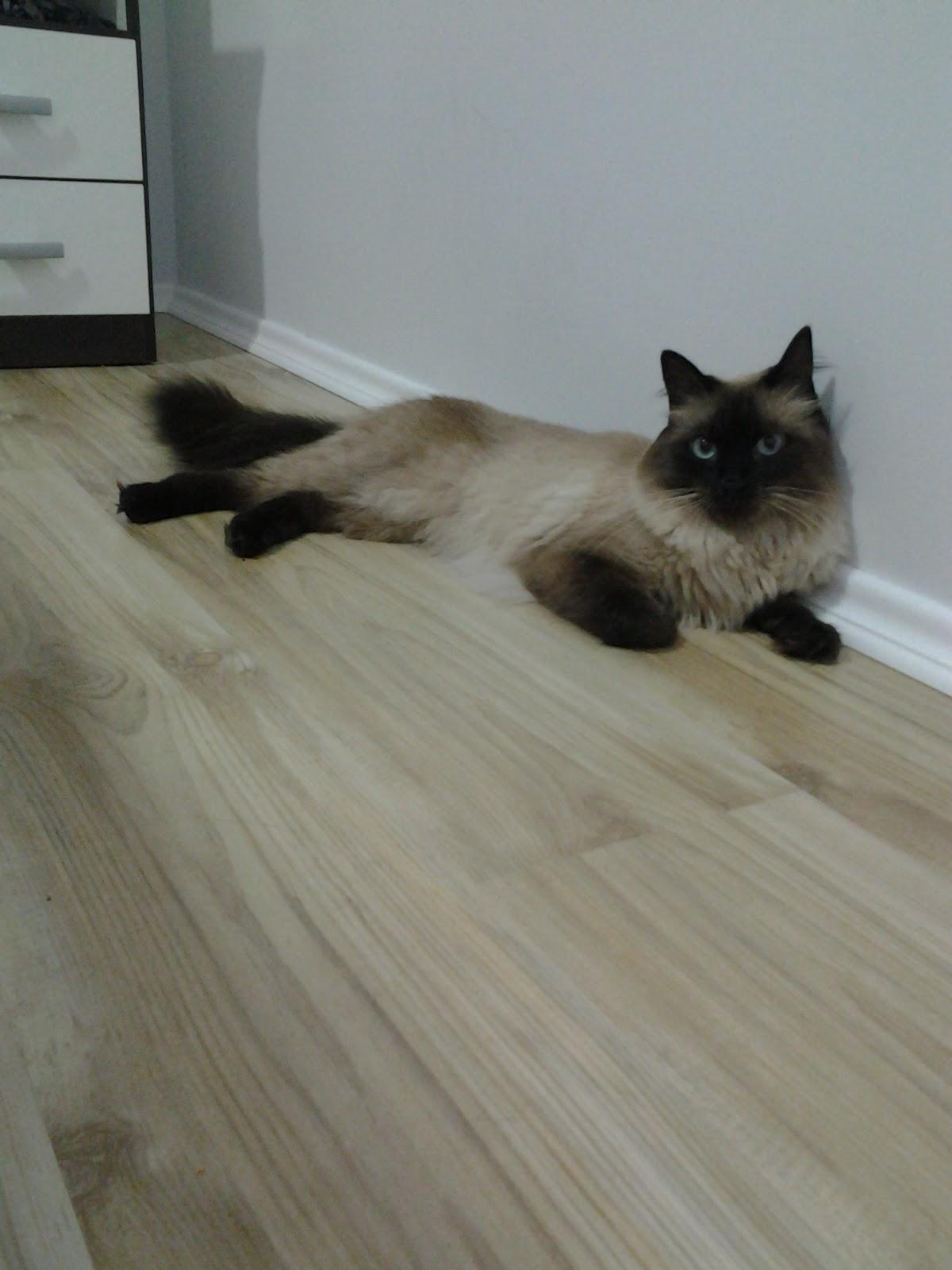 AMBIENTE IDEAL: Como é criar um gato em apartamento. #59513F 1200 1600