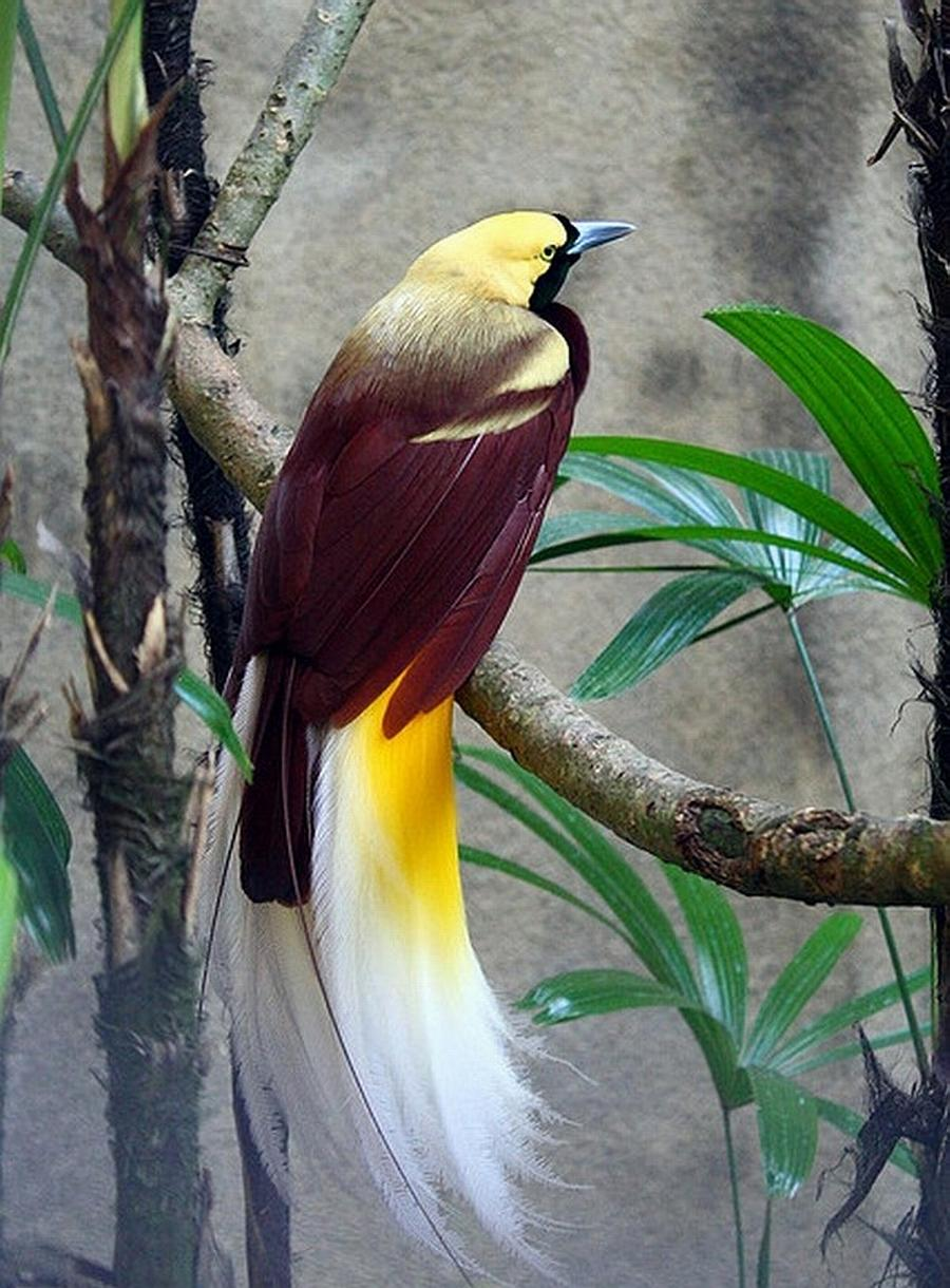 the bird of paradise Species: there are an estimated 42 species of bird of paradise size: size varies depending on species, from approximately 15 cm or 59 in (king bird of paradise) to 110 cm or 43 in (black.
