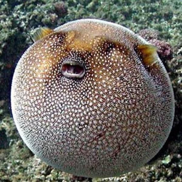 Maredolce il pesce palla for Pesce palla immagini
