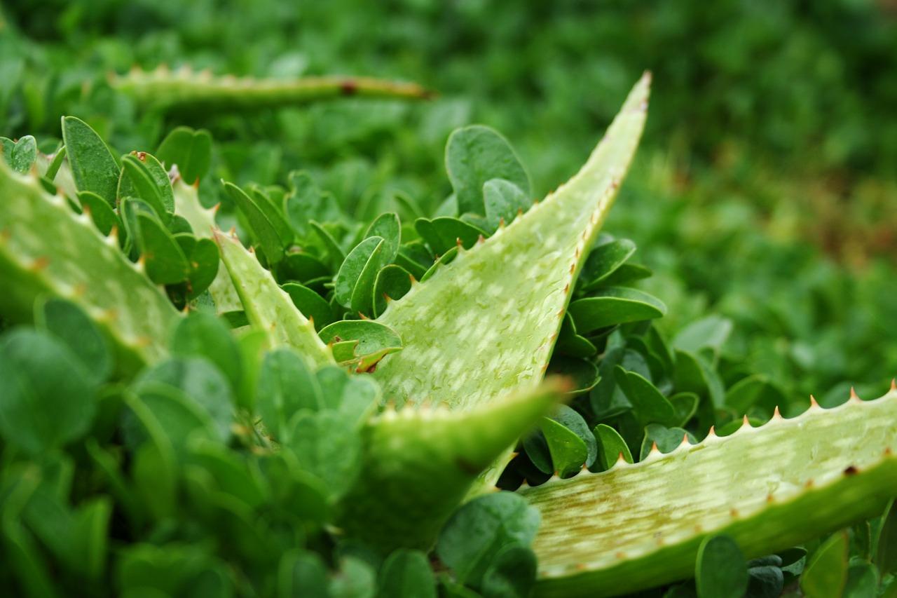 Tu tarot colombia el poder de las plantas la s bila - Como cuidar la planta de aloe vera ...