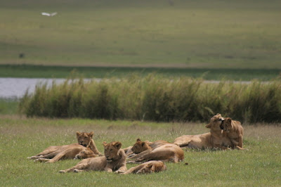 Ngorongoro Wild life Conservative Area UNESCO Heritage site Tanzania Africa