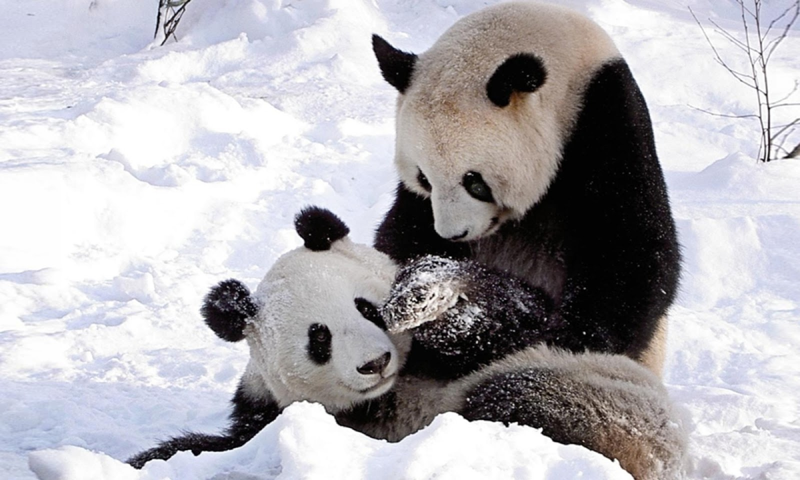 panda pictures hd wallpapers - photo #28