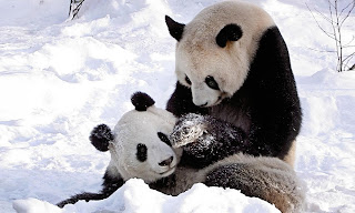 Panda Bears on Snow Playing Wallpaper
