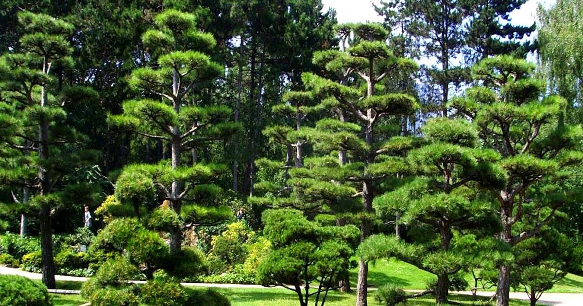 Why are many japanese trees small b u b b l e p e d i a for Small japanese tree