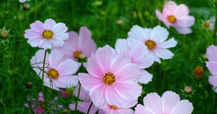 Pamietajmy O Ogrodach Rosliny Jednoroczne Uprawiane Z Siewu Wprost Do Gruntu
