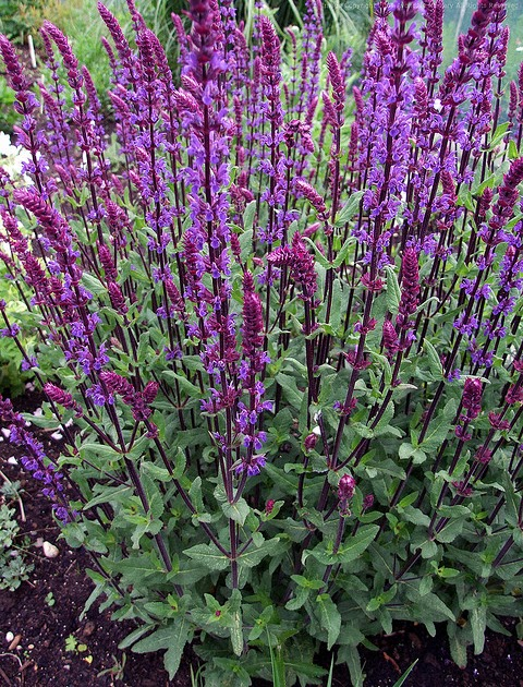 Earthworks st peter minnesota perennial salvia - Tough perennial bloomers drought insect and pest resistant flowers ...
