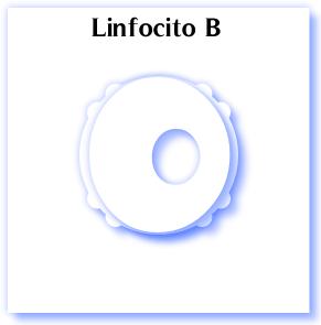 linfocito B
