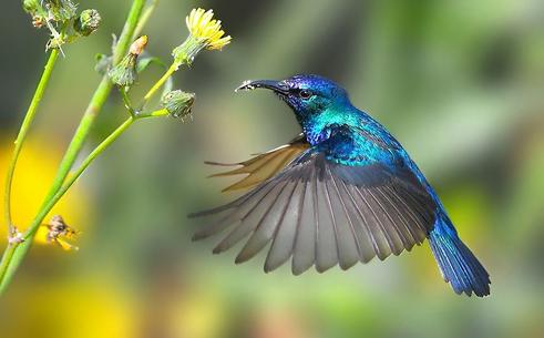 kolibri biru burung kolibri adalah burung terkecil di dunia dari ...
