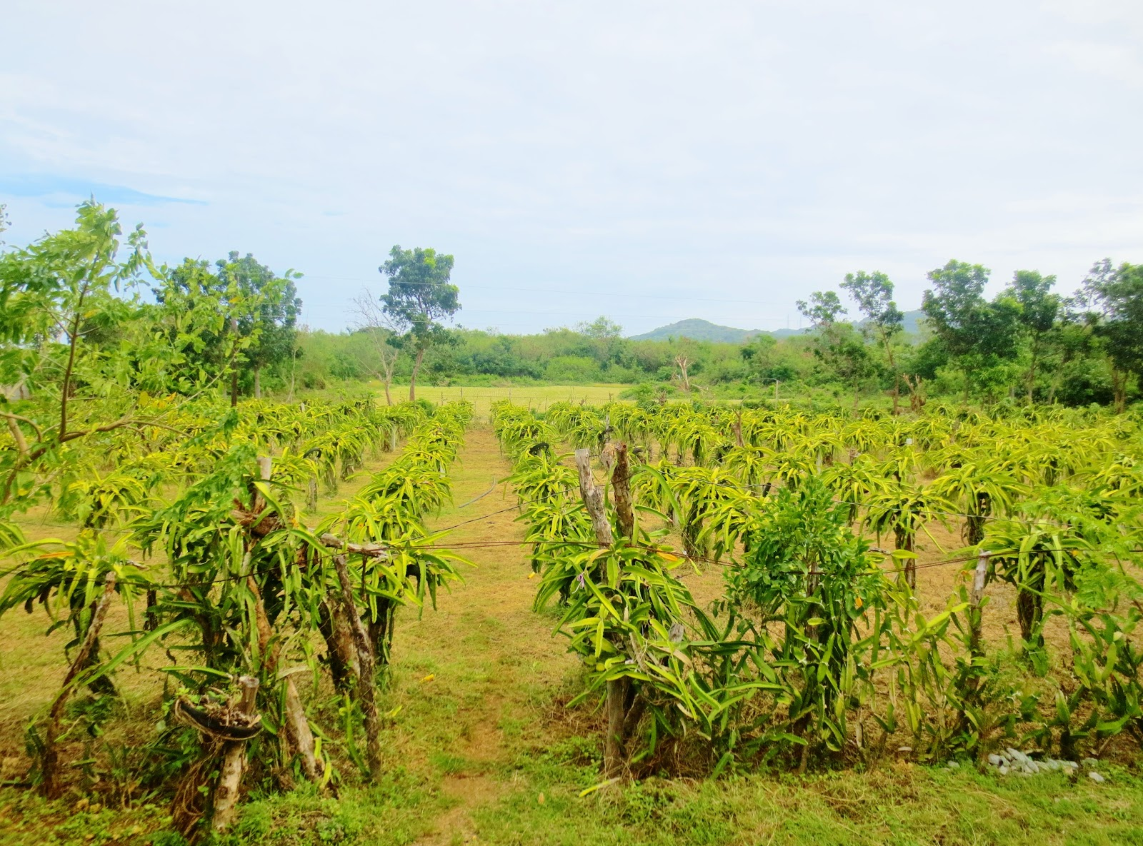 REFMAD Saniata Plantation, Ilocos