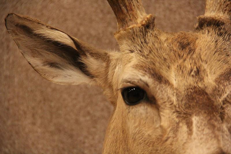 Dick's Taxidermy Hunt Report: Museum Quality Deer Shoulder ...