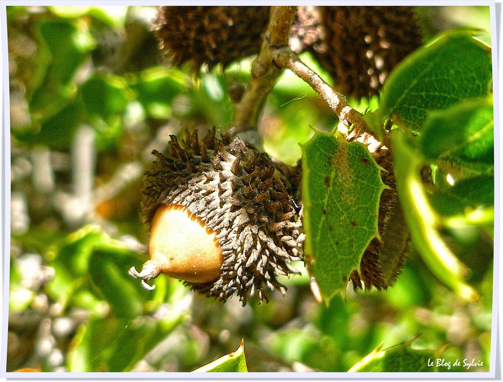 Le blog de sylvie fruits du ch ne vert - Maladie du chene vert arbre ...