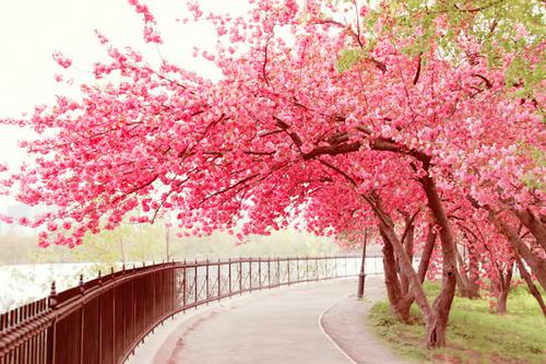 Wallpaper Bunga Sakura Bergerak
