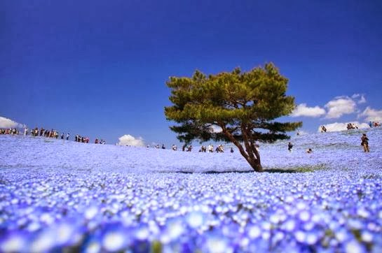 "Hitachi Seaside Parks ""Armonía Nemophila"""