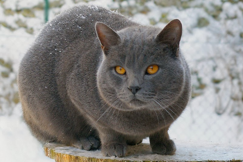 Chartreux Cat 9meow