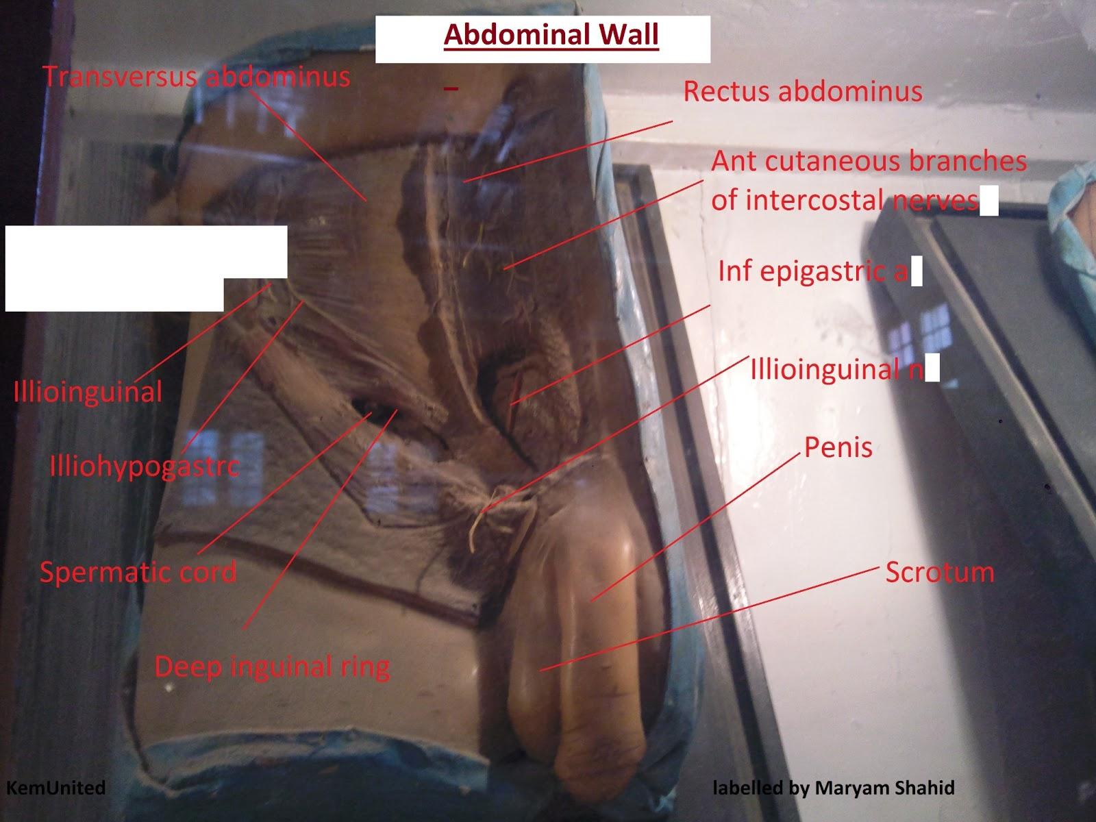 Gross anatomy abdomen