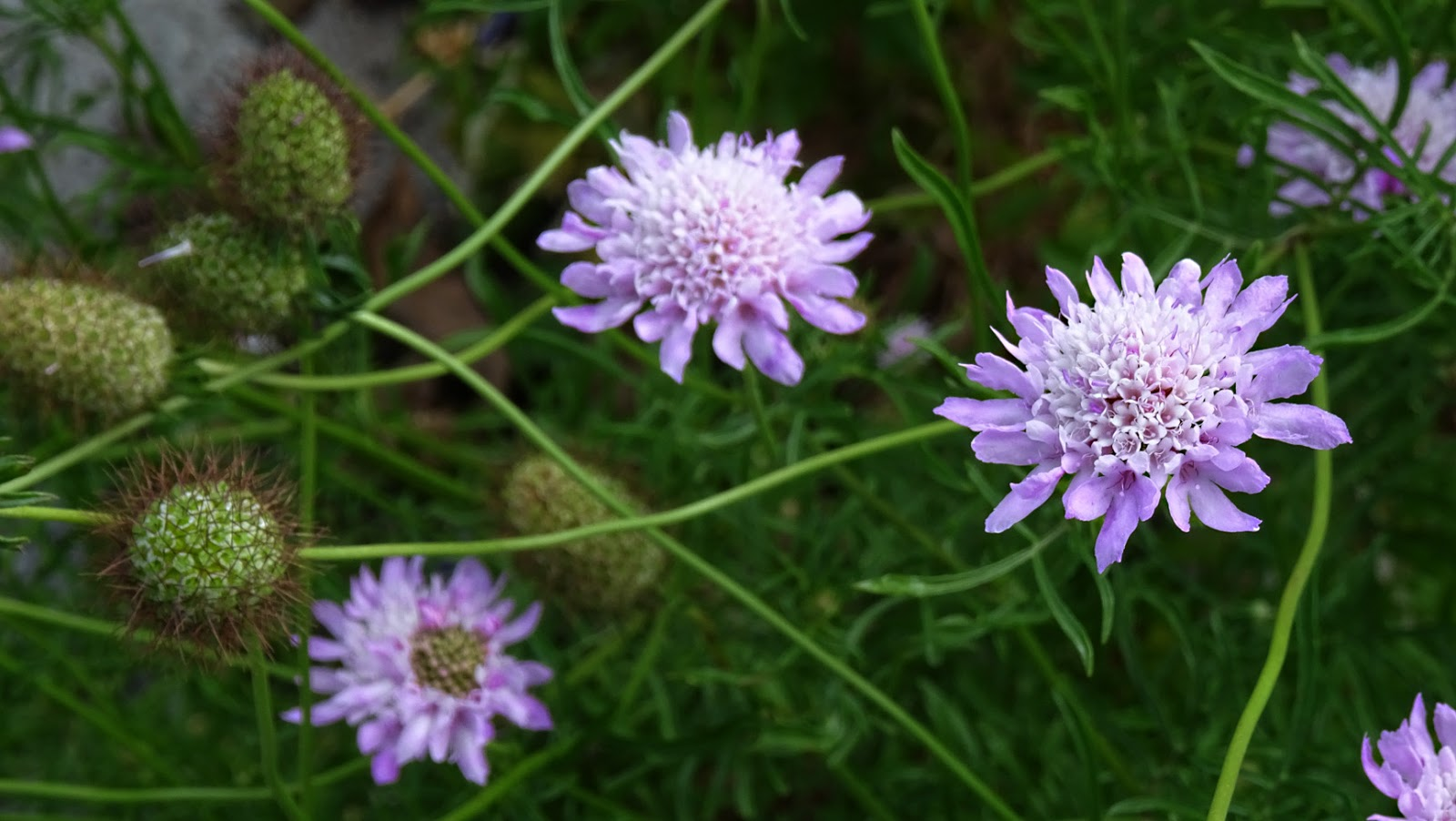 Nixpages Pincushion Flowers