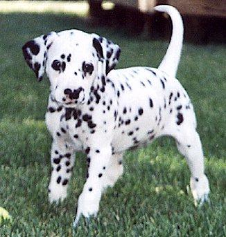 Cute Dalmatian Puppy Picture
