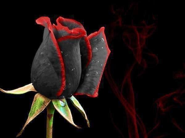 imagenes de rosas negras con frases bonitas Resultados