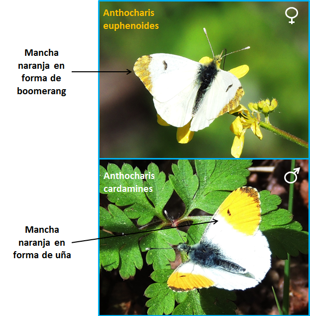 Diferencias entre la hembra de Anthocharis euphenoides y el macho de Anthocharis cardamines
